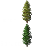 larch_spruce.png
